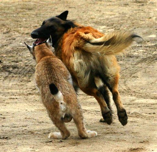 lynx vs wolf