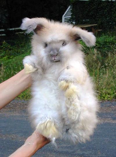english angora rabbits - photo #42