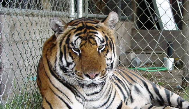Rexano of tiger walls and tragedies thoughts on the san francisco zoo tiger incident tim stoffel - Tiger in cage images ...
